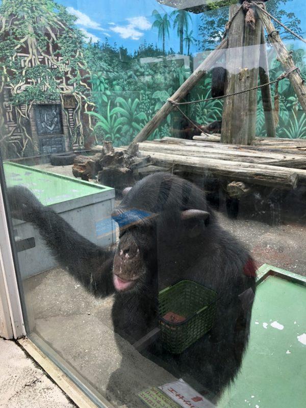 間近に見るチンパンジー