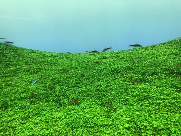水草の上を泳ぐ魚たち